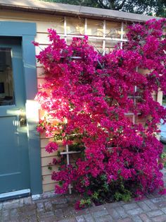Bougainvillea on trellis by pool                                                                                                                                                                                 More