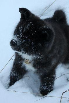 Akita Pup