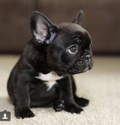 Finn's future sibling #frenchbulldog