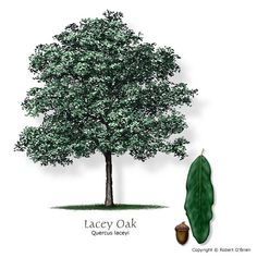 Lacey Oak (Blue Oak)  Quercus glaucoides; Medium Size; Deciduous  Growth Rate:	Slow;  Water Needs:	Dry  Tolerances:	Drought, alkaline soils (pH > 7.5) Texas native, reliable fall color, seeds or fruit eaten by wildlife  New leaves are peach-colored, turning blue-green, then back to peach in the fall.  Unusual, native oak with bluish foliage. May be difficult to find in nurseries.  Lacey Oak leaves range 2 to 4 inches long with smooth and lobed edge. Texas Superstar.