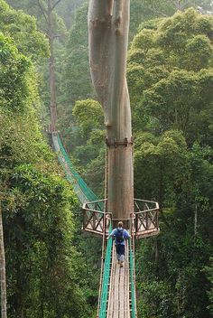 Borneo Rainforest Canopy Walkway, Malaysia. (THE Mulu National Park's, 480-metre Canopy Skywalk, is the world's longest tree-based canopy walk. The platforms provide a safe and unobstructed up-close view of the 130 million year old virgin jungle's c...