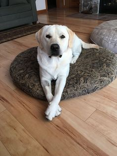 Love the crossed paws. Cute Puppies, Dogs And Puppies, Labrador Yellow, Animals And Pets, Cute Animals, Really Cute Dogs, Cats Musical, Yellow Cat, Labrador Retriever Dog