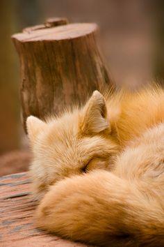 Red Fox by sangderenard - Albert Stichka