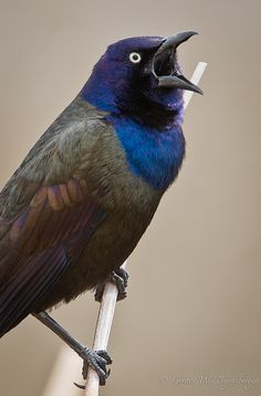 Caw!  What's your take on grackles?  Here in Northern Maine, we love all our wildlife--even these common feathered folks.