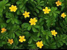 sarı ile ilgili görsel sonucu Small Flowers, Yellow Flowers, Beautiful Flowers, Flower Pictures, Mellow Yellow, Horticulture, Garden Plants, Outdoor Living, Daisy