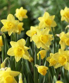 Narcissus Little Gem - Miniature Trumpet Daffodils - Narcissi - Fall 2015 Flower Bulbs