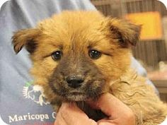 Mesa, AZ - Chow Chow/German Shepherd Dog Mix. Meet A3544479, a puppy for adoption. http://www.adoptapet.com/pet/12053122-mesa-arizona-chow-chow-mix
