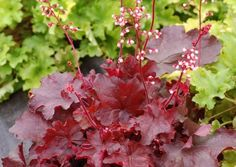 Heuchera - 'Fire Chief'  Mid-sized leaves of glowing wine red make a gorgeous medium sized mound. These are topped with bicolored pink and white flowers on dark red stems. Foliage turns a little browner in the winter, but otherwise holds its wine red color. Blooms continuously spring, summer, and fall like H. 'Paris'. You'll need to call the Fire Chief when you see this one!