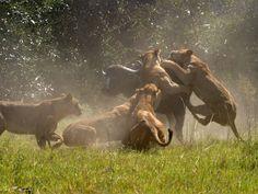 okawango delta   Lions chassant un buffle, delta de l'Okavango (Botswana) © J…