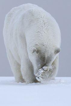 Polar Bear | von LauraKeene | Flickr