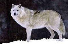 Wolf Dog Wolf soorten