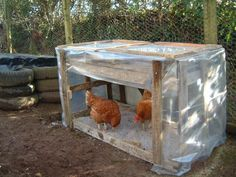 Image result for DUST BATH FOR CHICKEN WINTER