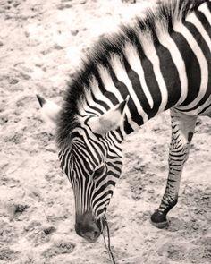 #charentemaritime #zoo #lapalmyre #zebre