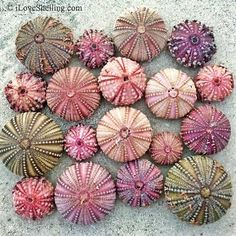 Sanibel sea urchins