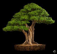 Brazilian Rain Tree Bonsai Nacho Marin, you feel the rainforest! Great, natural looking shari