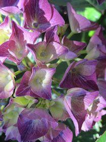 Hortensia Hydrangea, Hydrangeas, Planters, Plant, Window Boxes, Hydrangea Macrophylla, Pot Holders, Flower Planters, Pots