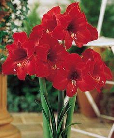 Amaryllis 'Floris Hecker'