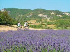 bicycling thru lavender fields near Marseille, France