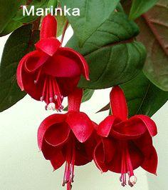 Marinka. 1902 Grows cascade.