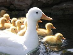 Mother Duck and her ducklings... by Leoa on flickfr