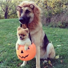 pomeranian and german shepherd ready for halloween