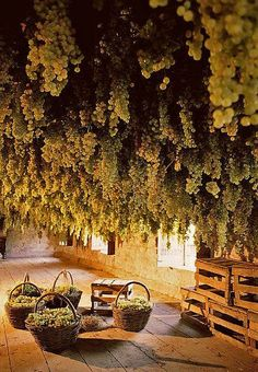 Wine Grapes, Podere il Giangio, Gambellara, Veneto, photo by Francesco Zonin