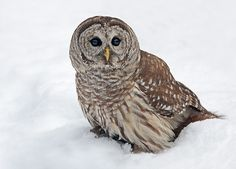 Source: Flickr / gordo-the-fly  #barred owl