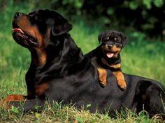 Rottweiler... cute pup!!