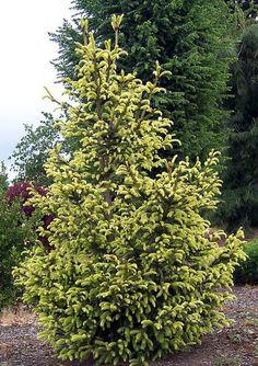 Picea abies 'Argenteospicata'