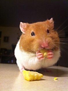 "Cori's pet ""Ham"" - he loves corn! Me thinks they ALL loves the corn plus peas.."