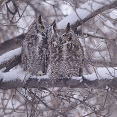Photo @ladzinski / A pair of #Greathornowls perched in a cottonwood tree huddled against the cold winds and winter snow in #bouldercolorado. These birds are prodigious hunters generally hunting under the cover of night and can take down animals as large as rabbits. Great Horns are monogamous adaptable and are the most wide spread owl in the Americas. #bouldersafari by natgeo