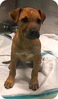 Ft Myers Beach, FL - Black Mouth Cur Mix. Meet Puppy Love!!, a puppy for adoption. http://www.adoptapet.com/pet/17575085-ft-myers-beach-florida-black-mouth-cur-mix