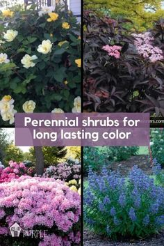 These flowering bushes can add lots of long-lasting color and personality and are large enough to make a big statement. In fact, a lot of the perennial shrubs I'll mention bloom for weeks and even months on end for multi season interest.  #shrubs #bushes #flowering Perennial Bushes, Shade Flowers Perennial, Perennial Garden Plans, Bushes And Shrubs, Garden Shrubs, Shade Plants, Shade Garden, Fall Plants, Full Sun Shrubs