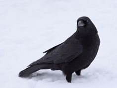 I got: Crow! What's Your Spirit Animal? (The crow describes me so well! I guess that's why it's my spirit animal. Fuchs Silhouette, Whats Your Spirit Animal, Rain Wallpapers, Desktop Backgrounds, Animals And Pets, Cute Animals, Blackbird Singing, American Crow, Fun Test