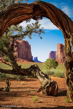 Ancient mesquite tree - Monument Valley, Arizona; photo by Pat Kofahl