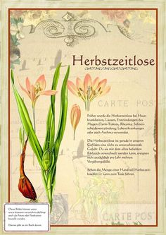 Bilder aus dem Buch Alte Heilkräuter-Zeichnungen Pictures from the book Old Medicinal Herbs Drawings Garden Care, Natural Home Remedies, Herbal Remedies, Flora, Self Watering Planter, Making Hair Bows, Medicinal Plants, Book Of Shadows, Aquaponics