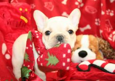Christmas Frenchie! Hopefully we'll have one of these cuties by next Christmas!