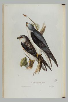 Gravure Illustration, Engraving Illustration, Flora And Fauna, Bird Prints, Kite, Wings, Earth, Black, Birds