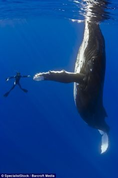 Reaching out to make contact: The humpback whale and Marco Queral look like they're reaching out to take part in an underwater dance