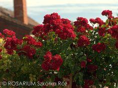 Rambling Rosie Wisteria, Plant