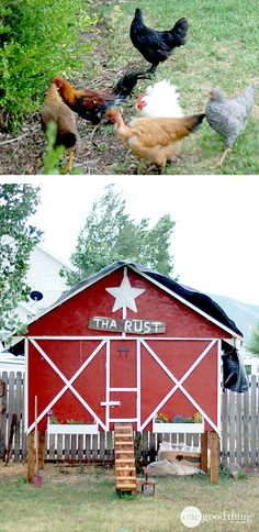 The pros and cons of raising chickens in your own backyard!