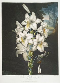 The White Lily ( with variegated leaves ) 1807 by Robert John Thornton (1765 - 1832). Image and text courtesy NYPL Digital Gallery.