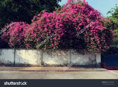 Amazing house with bougainvillea flowers trellis in purple color on brick wall at Ho Chi Minh city, Viet Nam on day