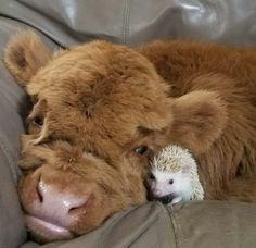 Do you love animals? Well I'll bet you love baby animals even more! Check out these 22 adorable baby animals that will melt your heart! Cute Baby Cow, Baby Cows, Cute Cows, Baby Farm Animals, Baby Giraffes, Baby Bunnies, Cute Little Animals, Cute Funny Animals, Dogs Tumblr