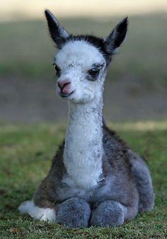 Baby llamas and baby alpacas are called crias. Alpacas, The Animals, Cute Baby Animals, Funny Animals, Farm Animals, Cute Creatures, Beautiful Creatures, Animals Beautiful, Tier Fotos