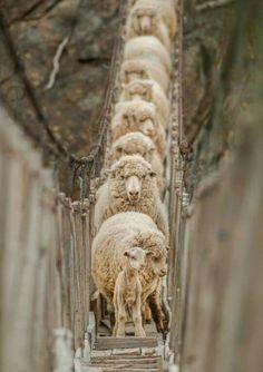 Moutons on a bridge