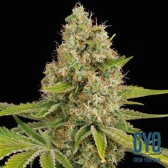 Dinafem OG Kush Feminised Weed Seeds: The coruscated neon green of the leaves is as eye-catching as the lemon-diesel flavour is memorable. This is a plant with pedigree and the number one strain of Hollywood celebs and stars - it even has its own gossip column in The New Yorker. It is a big, tall plant, quick to flower and very productive, with high THCs that provide a powerful and enjoyable high.