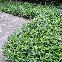 The Difference Between Vinca Major And Vinca Minor Flowering Plants Backyard Garden With Vinca Minor