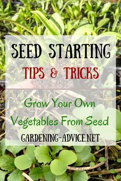 Starting your own vegetables from gardening seeds is great fun and gives you a great choice of the varieties. There is a much wider choice of vegetables and herbs available than in starter plants you can buy at your local nursery. Growing your own plants from seeds is also much cheaper.