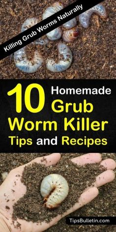 how to get rid of grubs worms, the larval of Japanese beetles before they can destroy your plants and lawn. These common garden pests, if left unchecked will kill your yard. Discover homemade grub killer tips and recipes to deal with these common insects. Garden Insects, Garden Pests, Garden Bugs, Herbs Garden, Garden Planters, Garden Hose, Spring Garden, Lawn And Garden, Winter Garden